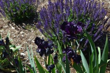 iris-and-salvia